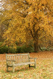 Bench and tree. A weather worn wooden bench in front of a large oak tree. The leaves have turned a golden orange in the late fall stock photos