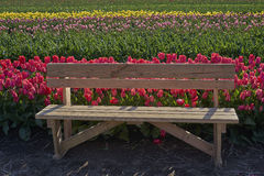 Bench in the tulip field Royalty Free Stock Photo