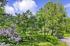 Bench under a flowering rowan tree and lilac Stock Photos