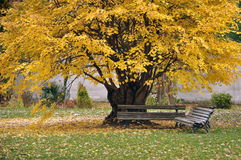 Bench under a large tree, yellow leaf Stock Photos