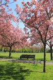 Bench under pink blossoming trees in Greenwich Park Stock Photos