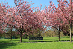 Bench under pink blossoming trees in Greenwich Park. Trees with pink blossoming flowers over bench on pathway in Greenwich Park, London royalty free stock image