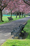 Bench under pink blossoms in Greenwich Park. Trees with pink blossoming flowers over a bench on pathway in Greenwich Park, London royalty free stock image