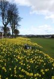 benches daffodills Royaltyfri Bild