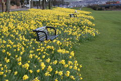 Benches and daffodils Stock Photography