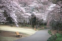 Benches near the path in the park. Where lush color blooms cherry. Japan Stock Photos