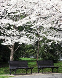 Benches Under the Blossoms Stock Images