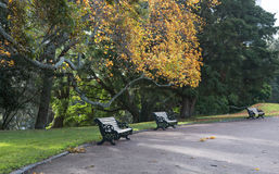 Benches under ginkgo biloba tree in autumn park Royalty Free Stock Image