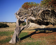 Bend. Old tree in Cyprus adapting to the costal wind royalty free stock photos