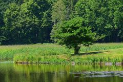 Tree on the bank of a pond royalty free stock image