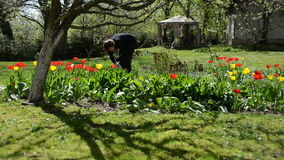 Bend gardener woman weeding flower bed in spring. Bend gardener woman weeding flower bed between red beautiful tulip flowers in hot spring day stock video
