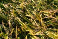 Bend wheat ears close-up view Royalty Free Stock Photography