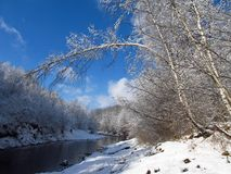 Bended birch. A birch bended down in winter forest on the river bank royalty free stock images