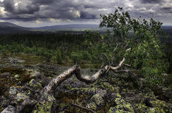 A bended birch Stock Image