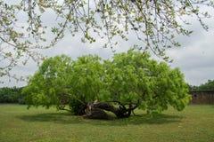 Bended liggande träd arkivbild