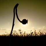 Bended stalk of poppy seed. Evening field of poppy heads. Dry flowers are waiting harvesting. Bended stalk of poppy seed. Evening field of poppy heads waiting Stock Photos