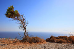 Bended Tree at Ancient Thira Royalty Free Stock Images