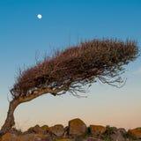 Bended tree moon a stone wall Royalty Free Stock Photos