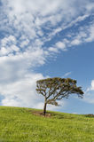 Bended tree and sun. Bended tree , clouds clouds and blue sky stock photos