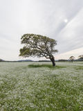 Bended tree and sun. Bended tree and lot of white flowers , the sun is undere the clouds Stock Images