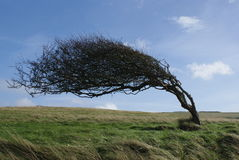 Bended tree. A tree bended by the wind in seven sisters park stock photos