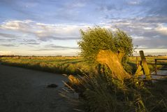 Bended willow tree. On a windy evening near the Dutch village Hardinxveld-Giessendam stock images