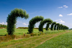 Bended willow trees in a line in the countryside Royalty Free Stock Photo