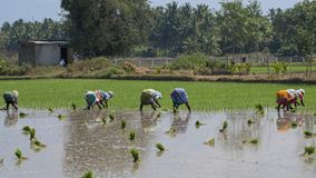 Bending backs in an Indian rice paddy. Villuppuram, India - March 18, 2018: Women undertaking backbreaking work sowing young rice plants in a paddy field in royalty free stock images