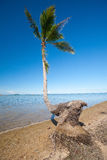 Bending coconut tree by a tropical beach Stock Image