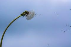 Bending dandelion Royalty Free Stock Photography