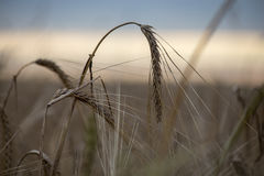 Bending the ears of rye. On the field during harvest Royalty Free Stock Photo