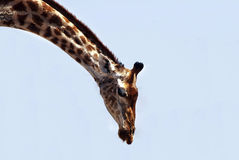 Bending giraffe Royalty Free Stock Images
