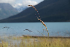 Bending Grass. Near Eklutna Lake, AK royalty free stock images