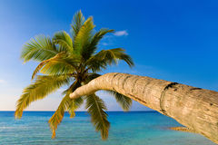 Bending palm tree on tropical beach. Vacation background Stock Images