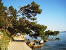 Bending pine tree. Pine tree bending over the sea and path leading to the city Rab Royalty Free Stock Photos