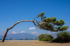 Bending tree bowing over the beautiful beach of Dalyan, Turkey Stock Images