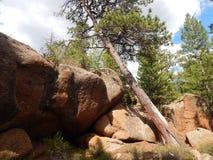 Bending Tree in Vedauwoo, Wyoming Royalty Free Stock Images