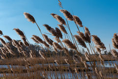 Bending in the wind. Marsh weeds bend as the wind blows through them Stock Photography