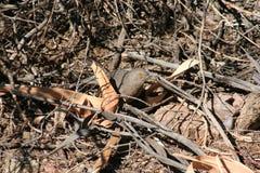 Bendire`s Thrasher Toxostoma bendirei Royalty Free Stock Images