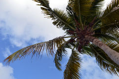 Beneath a coconut palm. (Cocos nucifera) with copy space royalty free stock photo