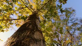 From Beneath shot looking up a tree trunk towards the canopy. Turning Around stock footage