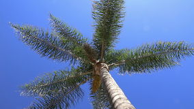 Beneath a Swaying Palm Tree. Underneath a tall palm tree swaying in a gentle breeze stock footage