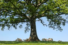 Free Beneath The Oak Royalty Free Stock Photos - 3451028