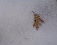 Benedenwaartse het Richten Eik & x28; Quercus& x29; Blad op de Sneeuw Stock Foto's