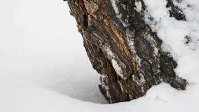 Benen, die op diepe sneeuw, voorbij de boomboomstam lopen Om de stappen van de toerist in het Park te lopen stock footage