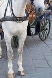 Benen och näsan av den vita hästen Royaltyfri Fotografi