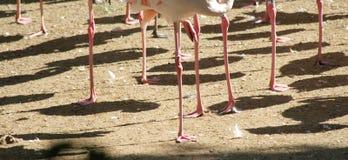 Benen van een flamingo Stock Foto's