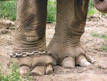Benen van een olifant in ketting stock afbeelding