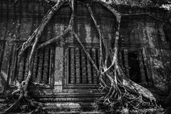 Beng Mealea - Amazing Roots of Tree Royalty Free Stock Image
