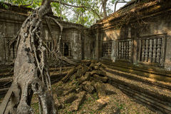 Beng Mealea big tree. Going over roofs Royalty Free Stock Images